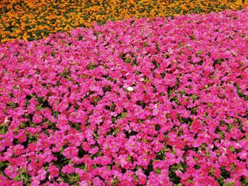 Sector Floricultor